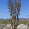 An ocotillo skeleton at Ocotillo Patch.
