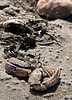 7-27-2011...  I've Come Undone...<br /> <br /> Scattered crab on the beach...<br /> <br /> Sometimes it is even Chuck...