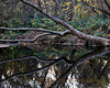 12-4-2009...  Reflections on a Beaver Pond<br /> <br /> One of our walks in Bidwell Park, near One Mile Swimming Hole...