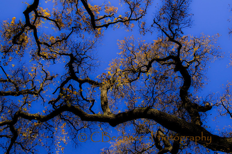 Oak Canopy in the Winter Sunset