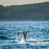 Autumn Whales off Sydney Heads