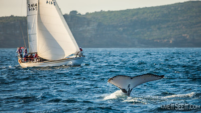 Autumn Whales off Sydney Heads