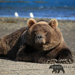 Scenic Bear Viewing's photo
