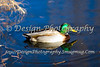 Swimming Mallard Duck