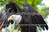Female Bald Eagle with Wings Spread