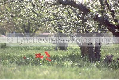 orchardtulip-60041105-Owtmk