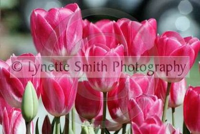 pink+tulips+copy-60041344-Owtmk
