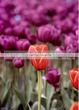 tulips-60041840-Owtmk