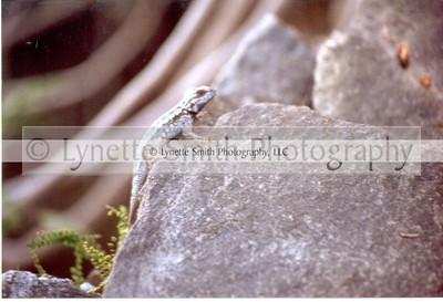 lizard-60040725-Owtmk