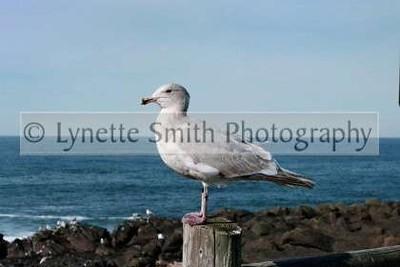 seagull+copy-60041573-Owtmk