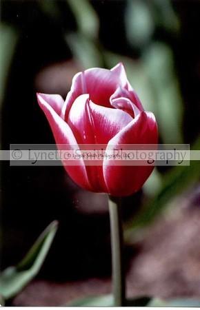 tulip-60041803-Owtmk
