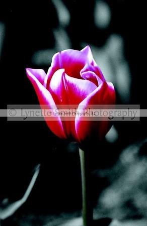 tulip+colorblk-60041773-Owtmk
