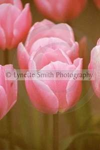 pink+tulip+2+copy-60041340-Owtmk