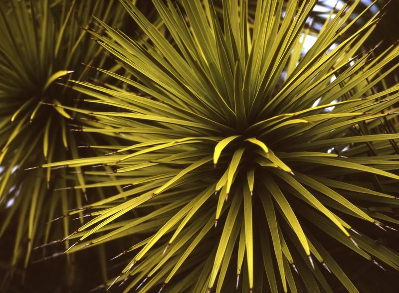 Yucca No  1