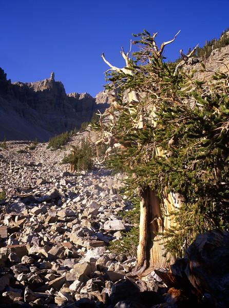 Wheeler Peak Grove
