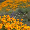 Poppy and Lupine Super Bloom