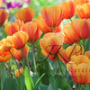 Tulip field of tangerine and orange colored Tulips