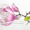 Pink and white Chinese Magnolia blossom