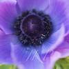 Close up of purple/magenta Tulip