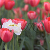 Tulip field full of red tulips and a single spent Poppy