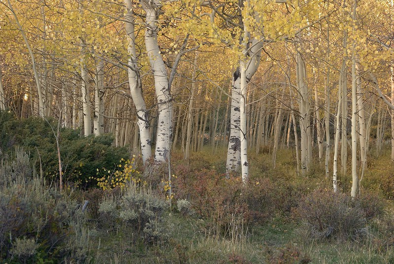 Shoshone National Forest Autumn Glowing Grove