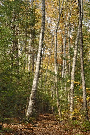 Grove Along a Hiking Trail in Acadia National Park