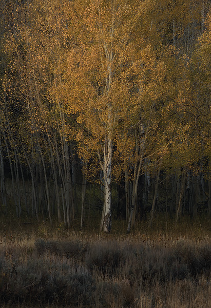 Shoshone National Forest - Autumn Sunset on Tree #1
