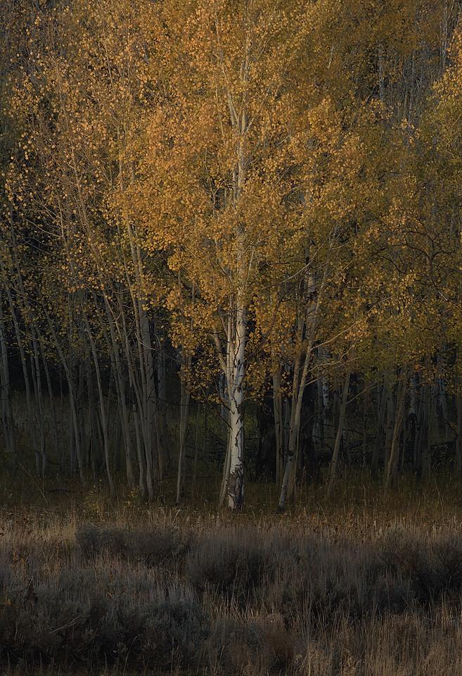 Shoshone National Forest - Autumn Sunset on Tree #1