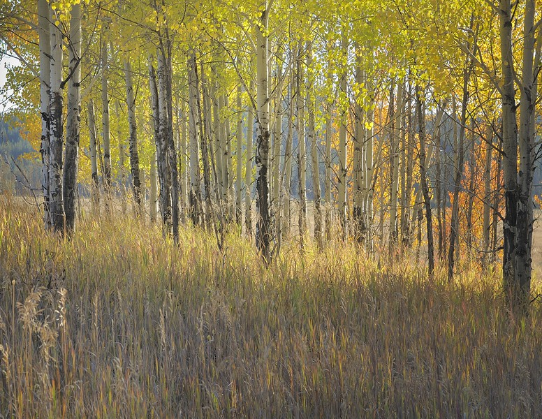 Grand Tetons National Park Autumn Glowing Grove #2