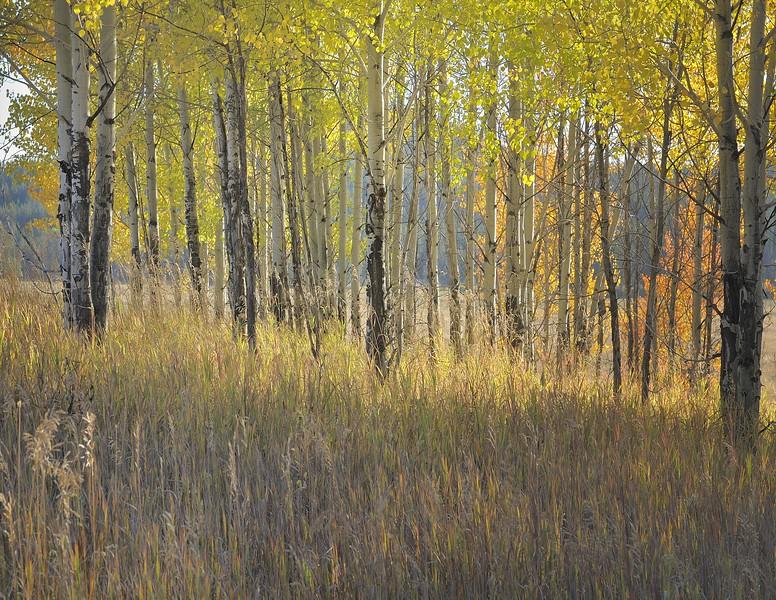 Grand Tetons National Park Autumn Glowing Grove #2