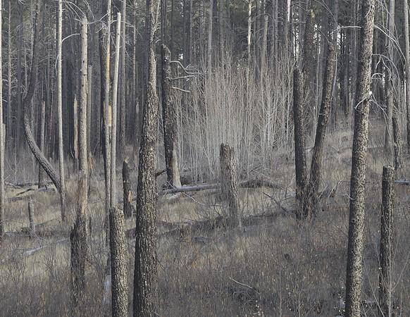 Bandelier National Forest Grove #1
