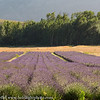 South Africa Lavender Field