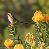 Cape Sugar Bird on Protea Flowers
