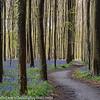 Belgium Blue Forest