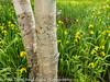 Birch Tree with Wildflowers