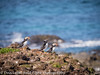Elliston Point Newfoundland Puffins