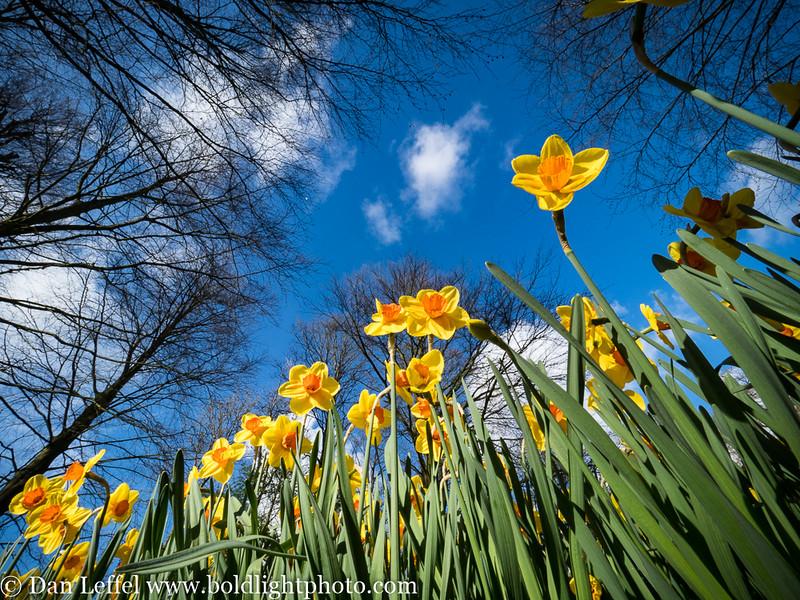 Holland Keukenhof Gardens Daffodils