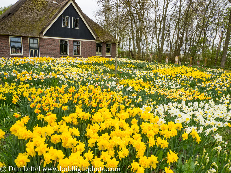 Noord Holland Rural Daffodil House