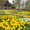 Noord Holland Rural Daffodil House
