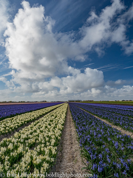 Noord Holland Rural Hyacinth Fields