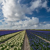 Noord Holland Rural Hyacinth Fields