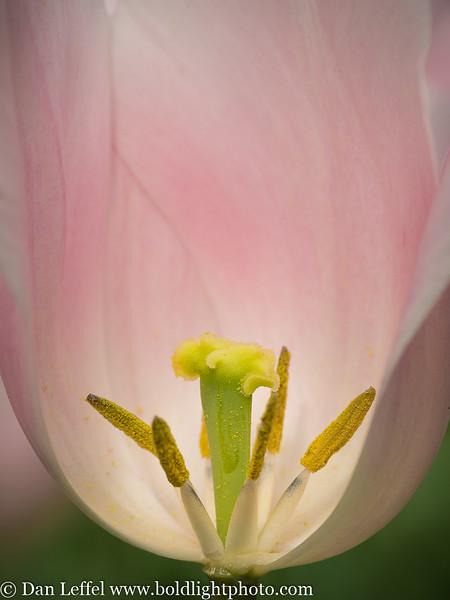 Holland Keukenhof Gardens Tulip Detail