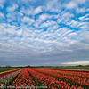 Noord Holland Rural Tulip Fields