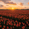 Noord Holland Rural Tulip Fields Sunset