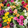 Holland Keukenhof Gardens Calla Lilies