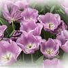 Holland Keukenhof Gardens Tulips