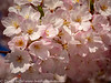 Tokyo Cherry Blossoms