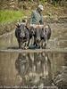 Nepal Rice Planting