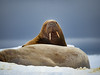 Svalbard Norway Walrus