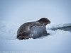 Svalbard Norway Bearded Seal